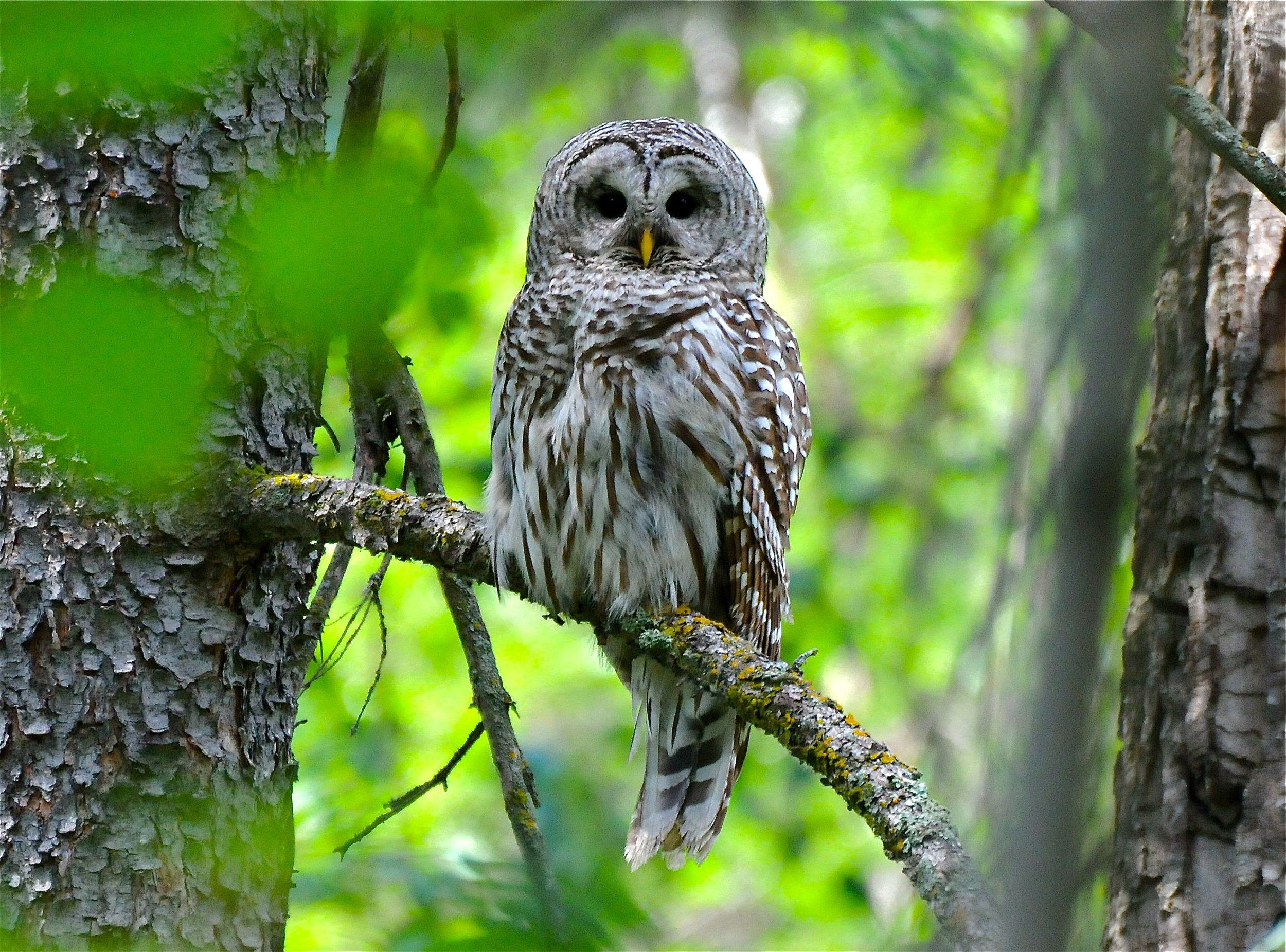 barred owl - Betty Fisher.jpg