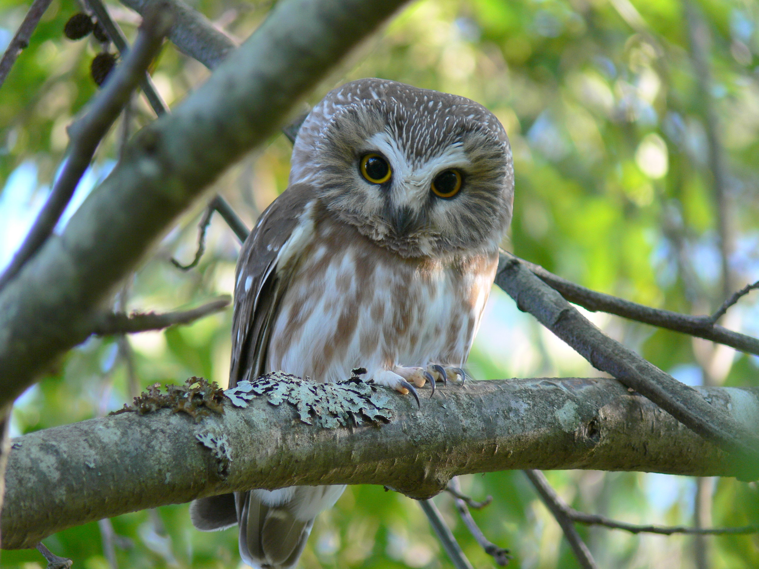 northern saw whet owl - Doris May.jpg