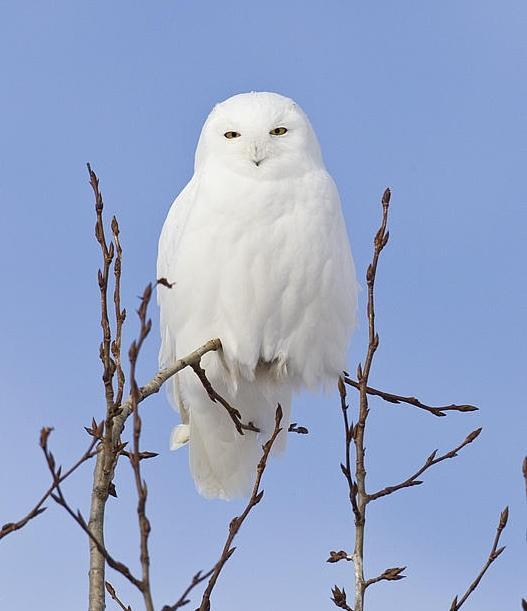 Male Snowy - Gerald Romanchuk.jpg