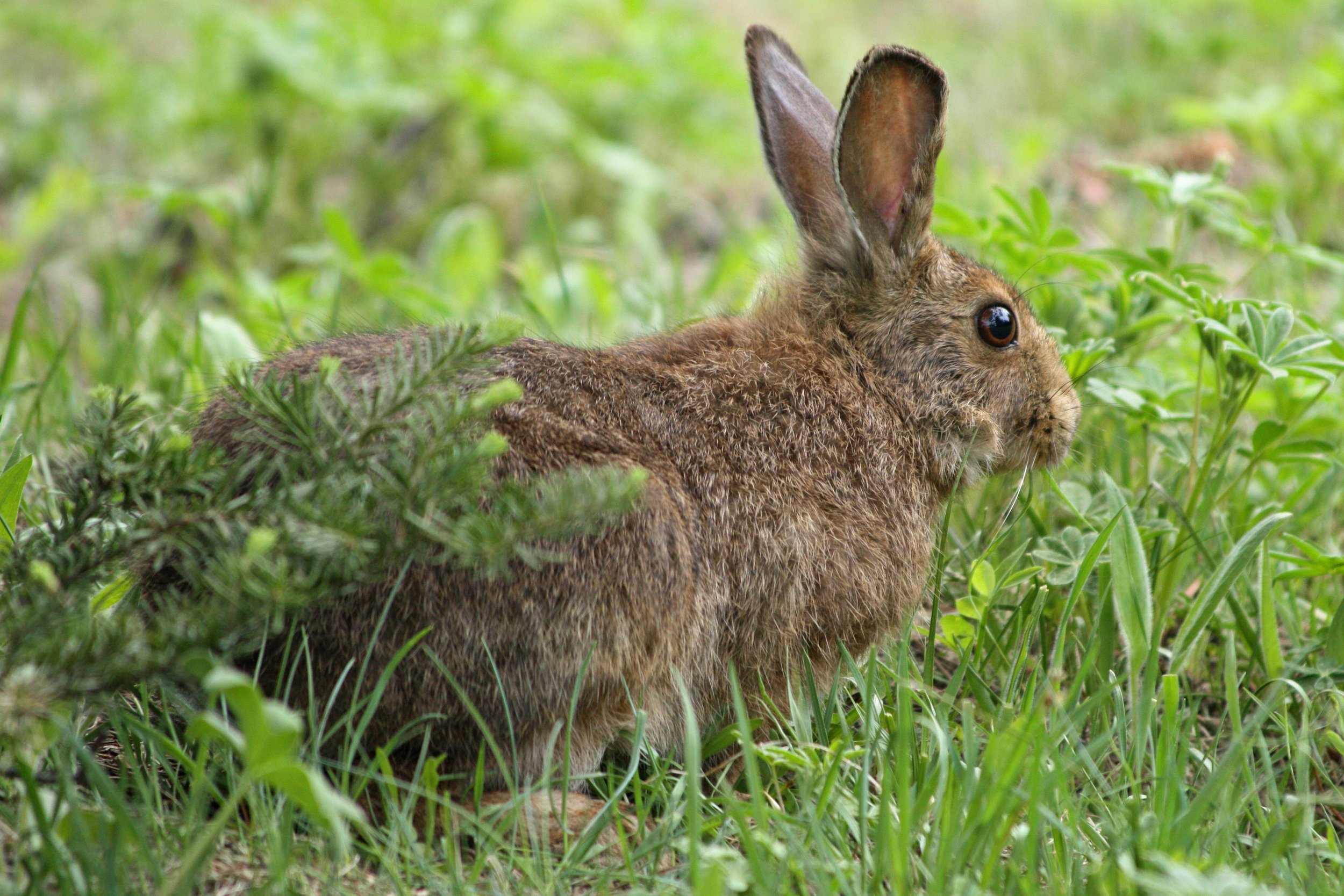 Snowshoe hare's summer colours , Photo by  Walter Siegmund, derivative work, CC BY-SA 3.0