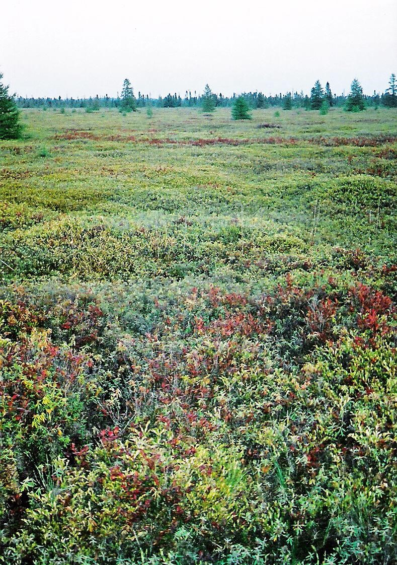 Sphagnum Bog,  Photo by P199 -  Own work, CC BY 2.5