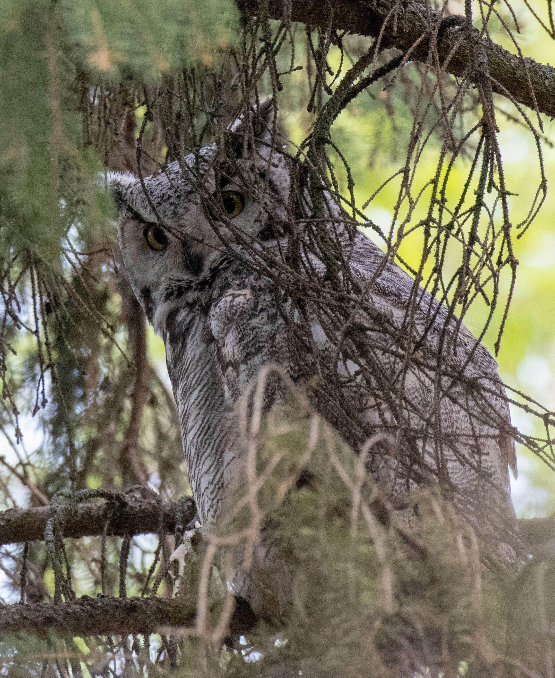 Great Horned Owl at Bunchberry Meadows by Doug Knight
