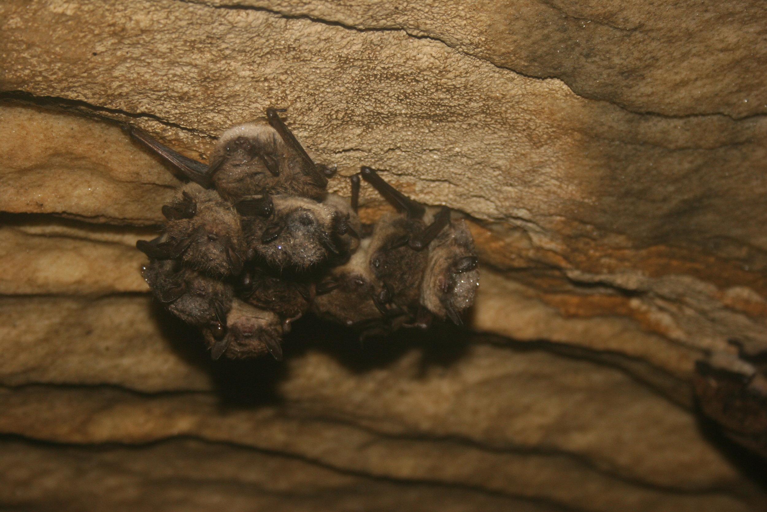 litte brown bat cluster USFWS CC 2.0.jpg
