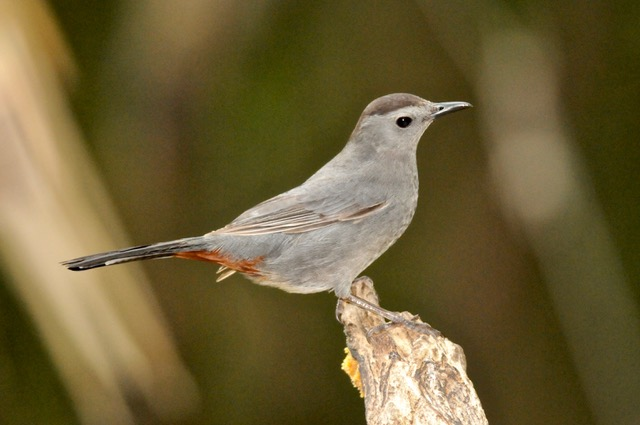 Gray Catbirds were heard and seen at the Lu Carbyn nature walks. Photo by Betty Fisher.