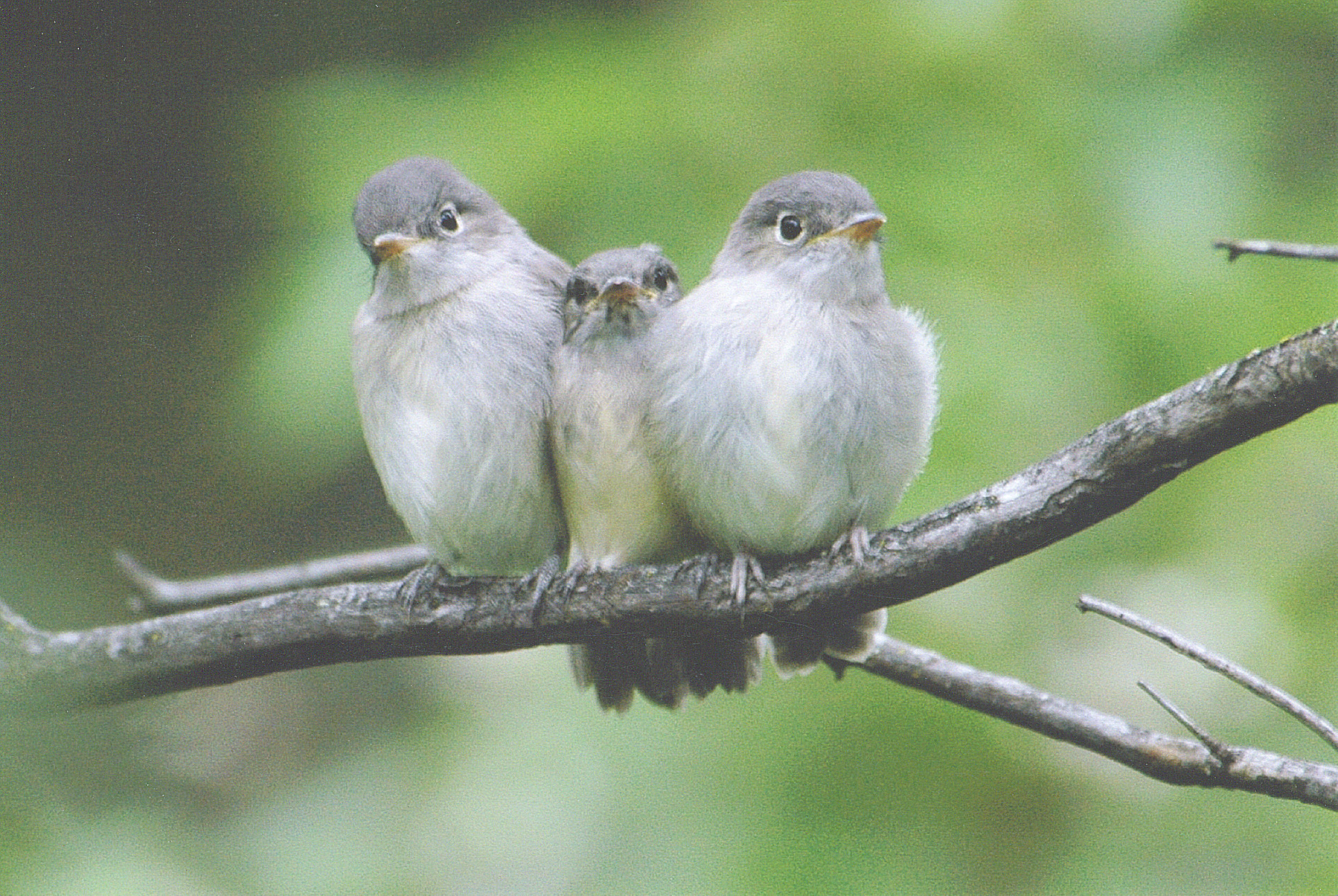 Least Flycatcher fledglings by Betty Fisher