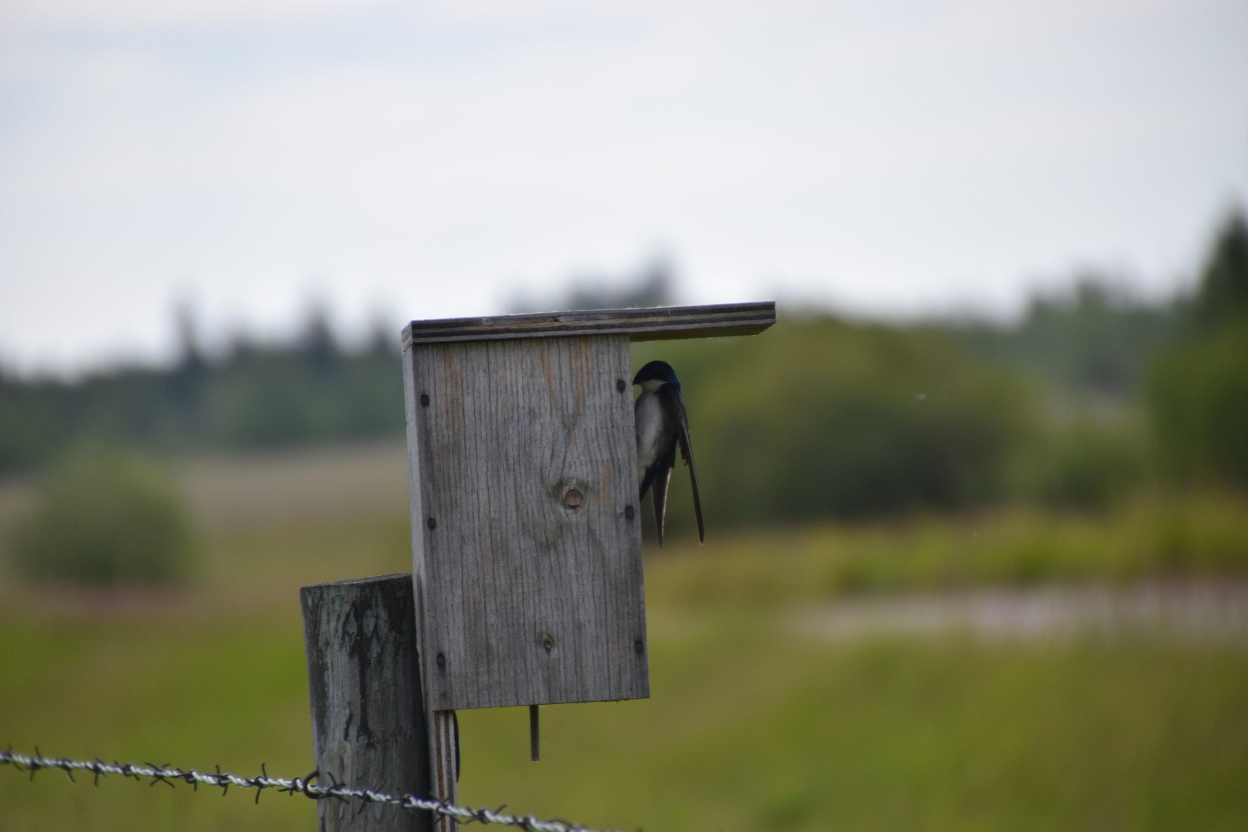 Tree Swallow at Nest Box