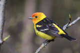 Western Tanager by Gerald Romanchuk