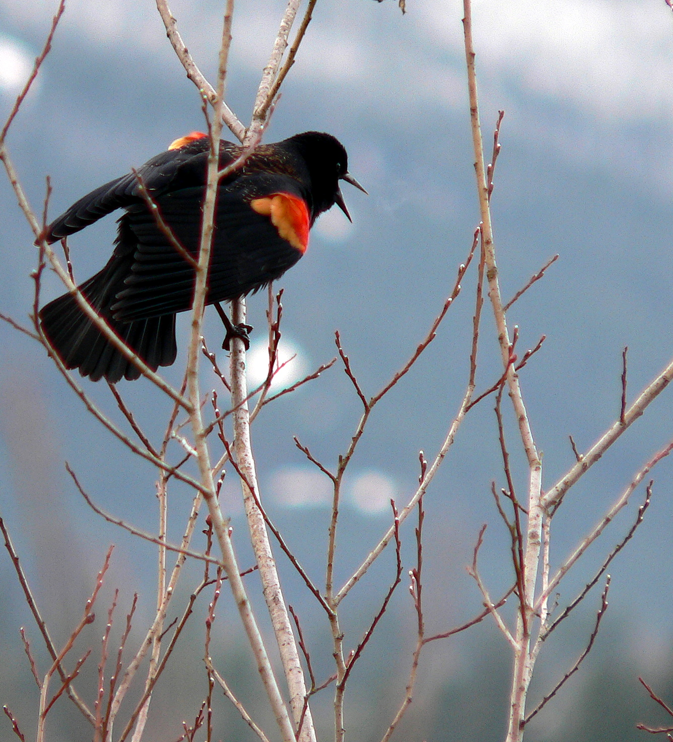 Red-winged Blackbird by Doris May