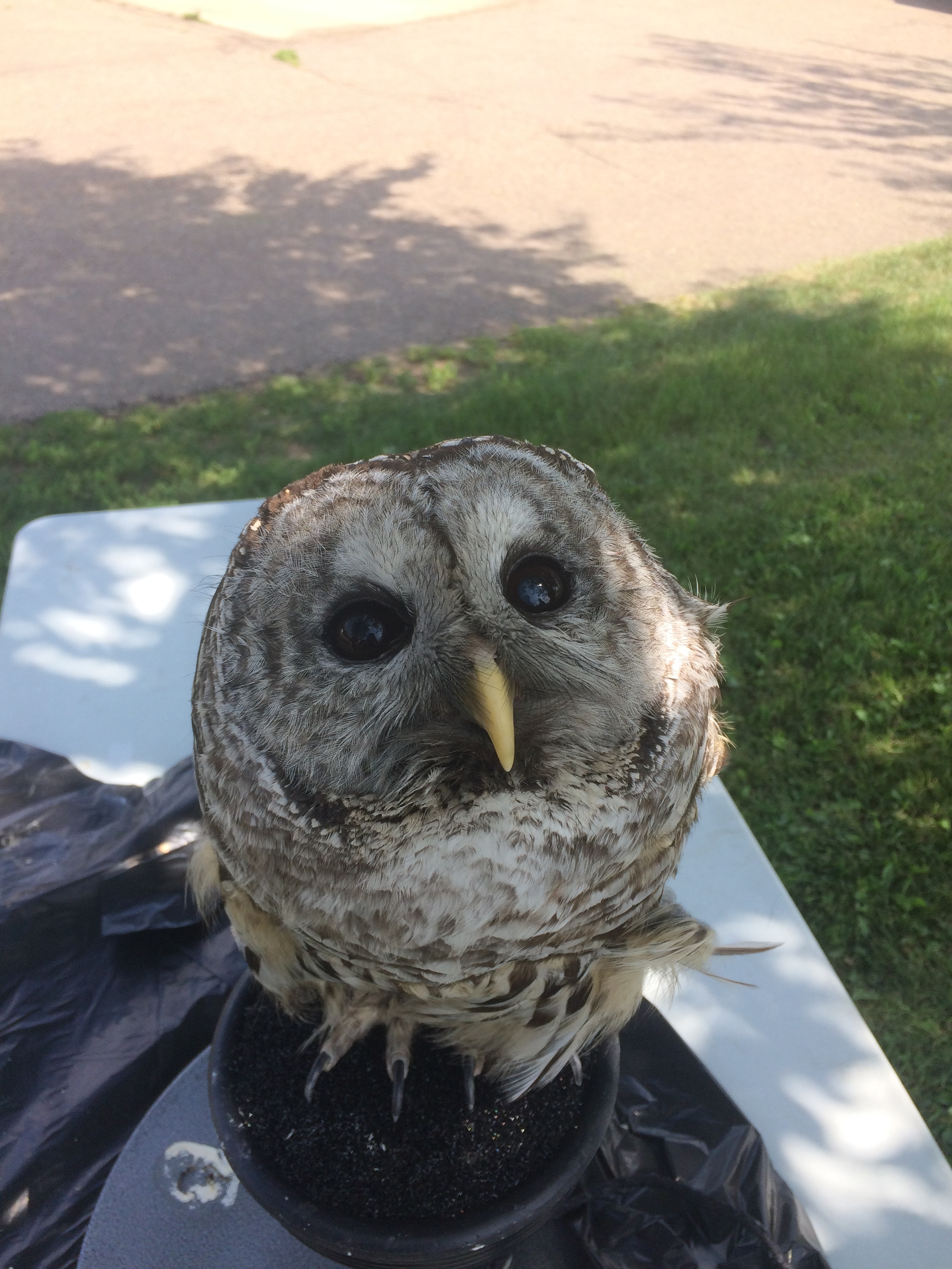Special guest Colonel the Barred Owl visited during EALTs 10th Anniversary Tours of Ladyflower Gardens