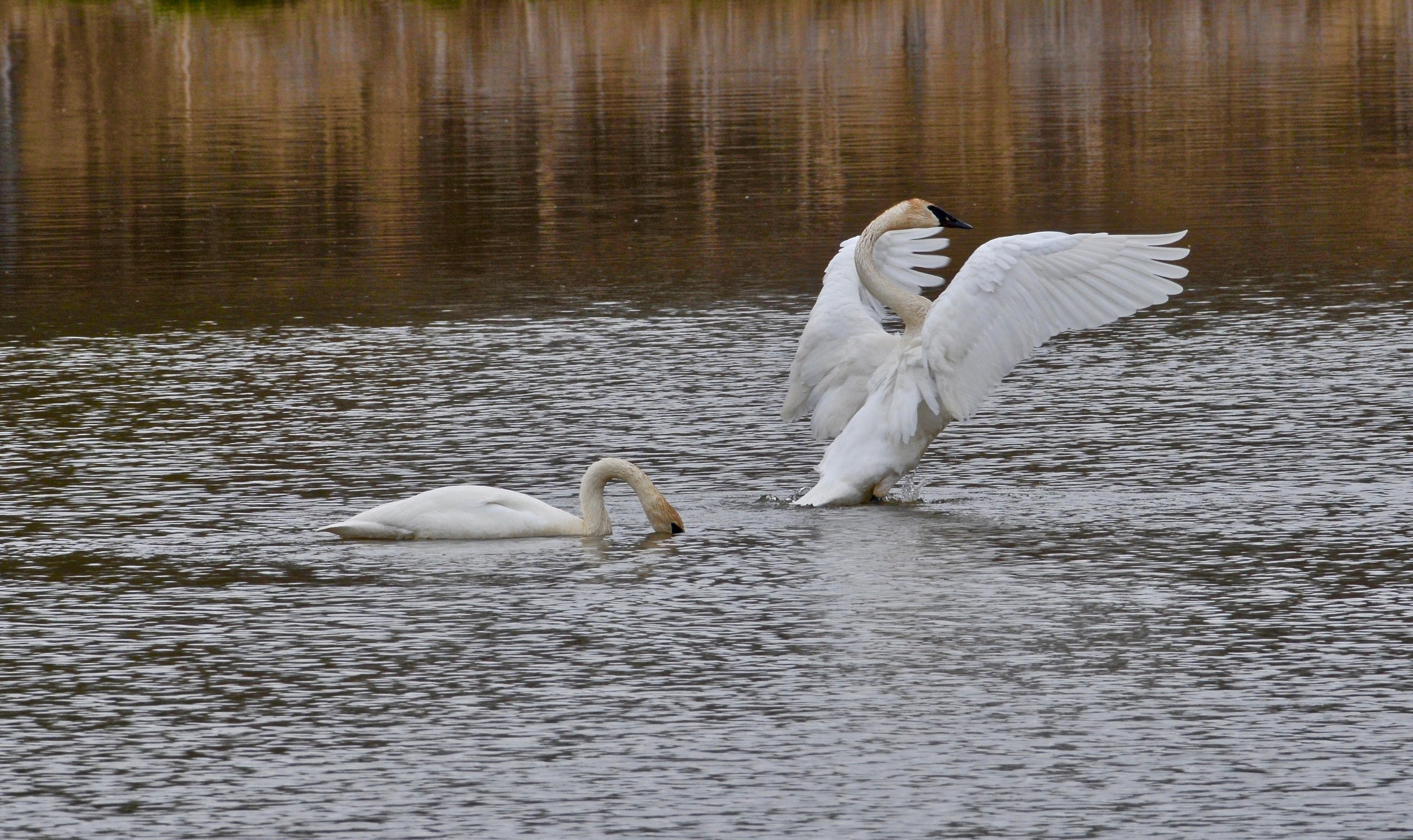 The trumpeter swan is an 'at-risk' species visitors might be able to see in the sanctuary. (Pam Wight)