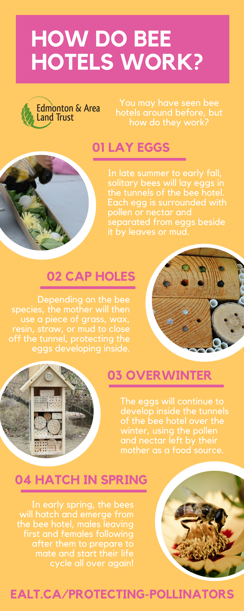 How do bee hotels work Infographic.jpg