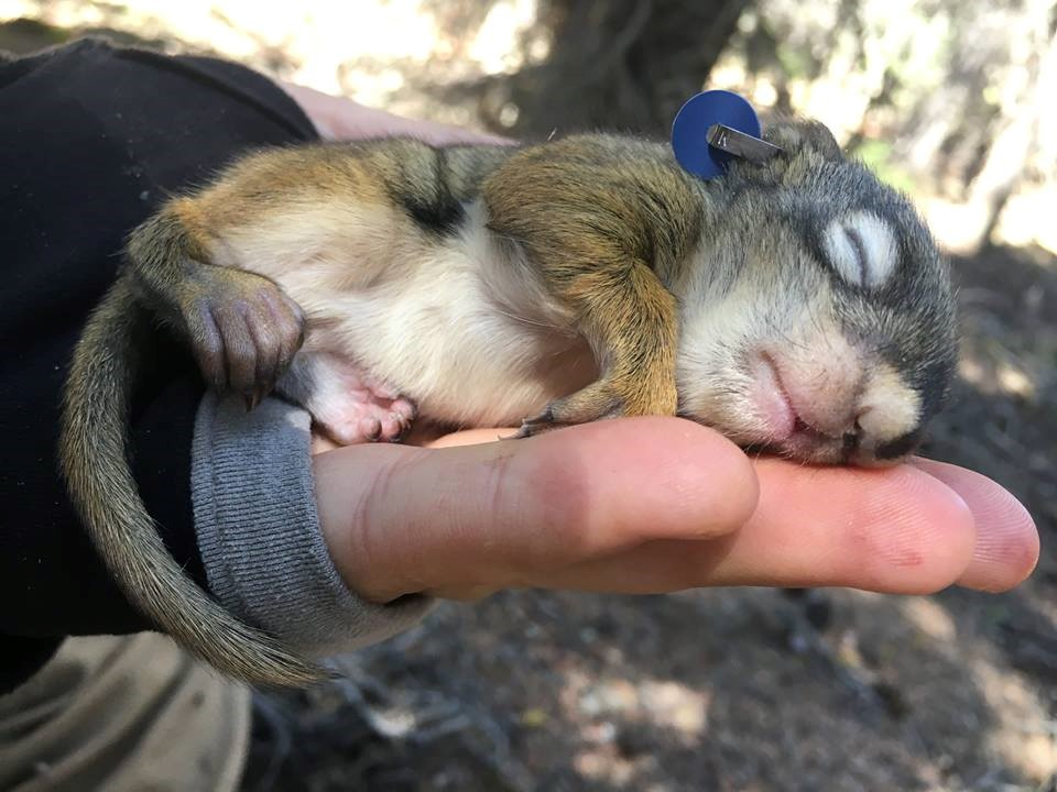 A baby red squirrel sleeping in my hand