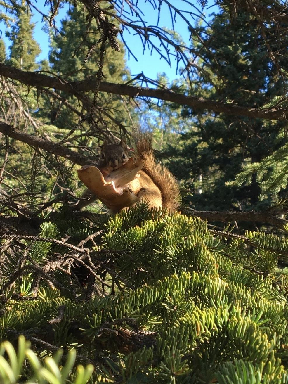 A Yukon squirrel collecting mushrooms