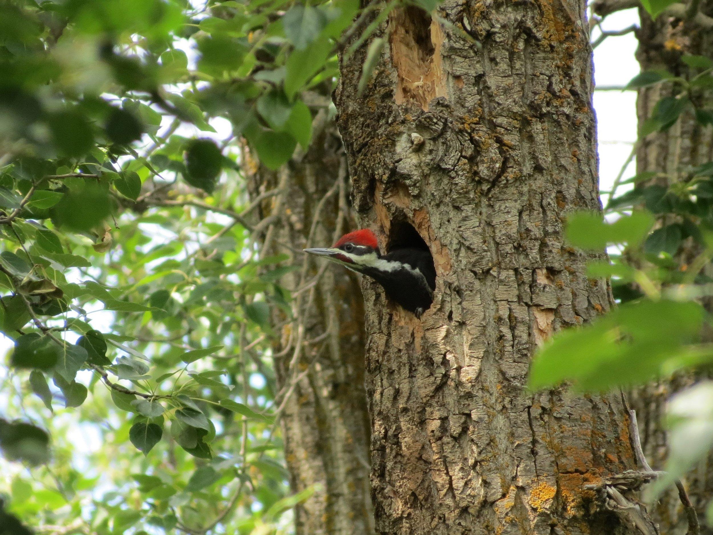 pileated woodpecker @ Boisvert - EALT.JPG
