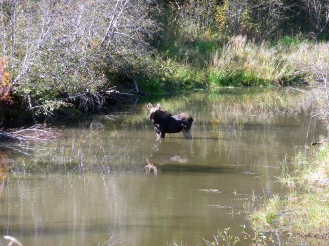 moose at Larch - Harry Stelfox (1).jpg