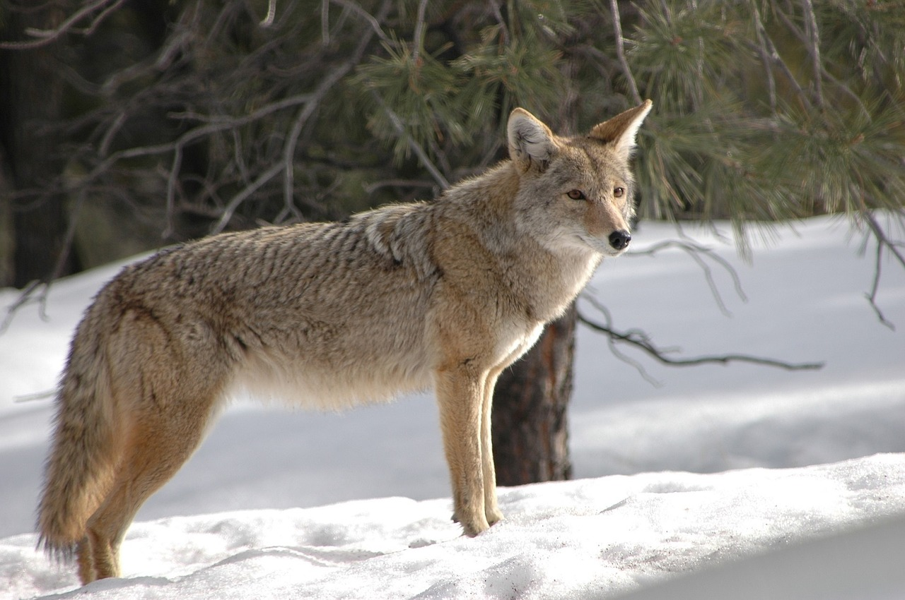 coyote-public domain.jpg