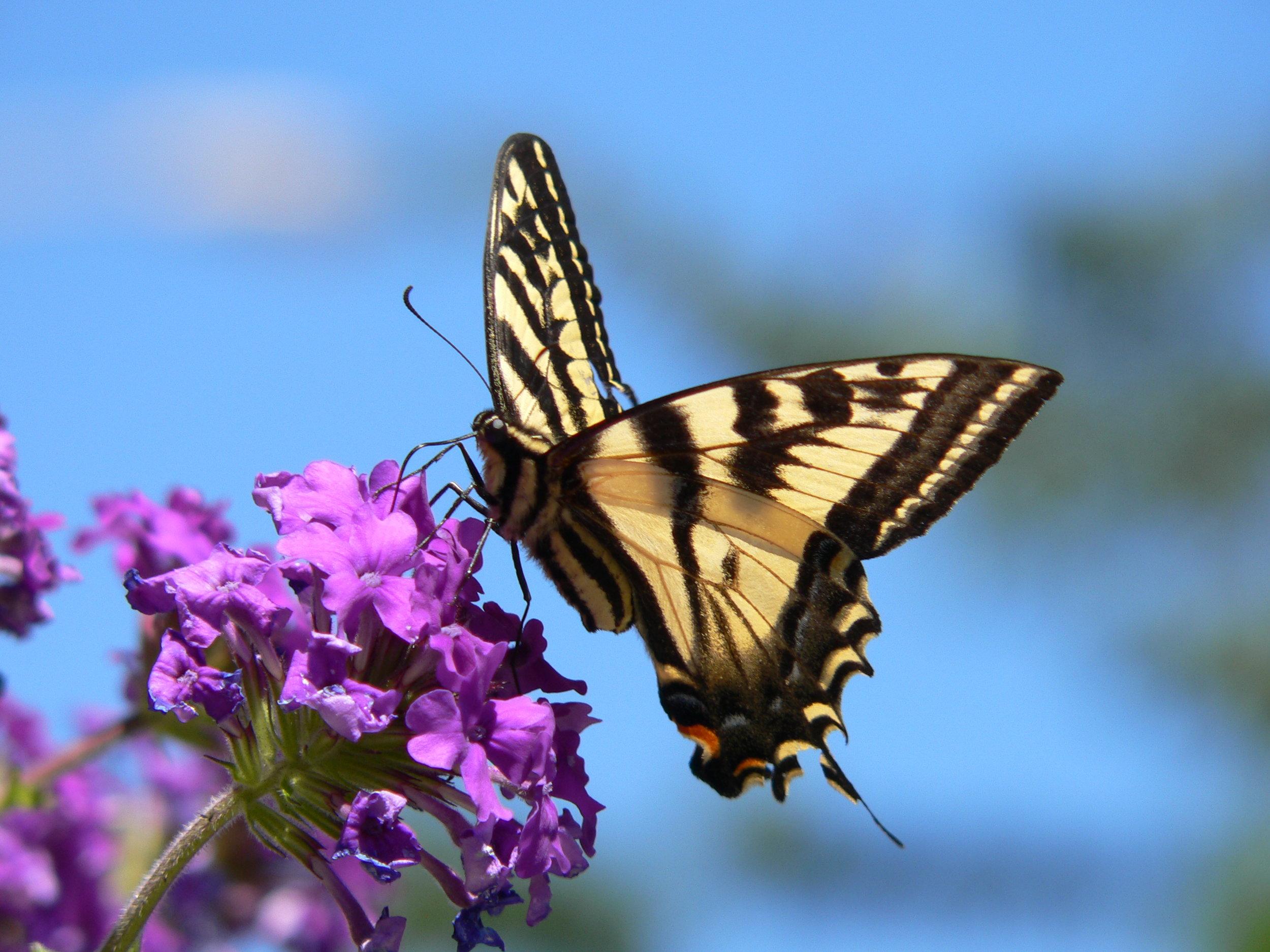 2005-07-21 Butterfly Tiger Swallowtail 102 - Doris May.jpg