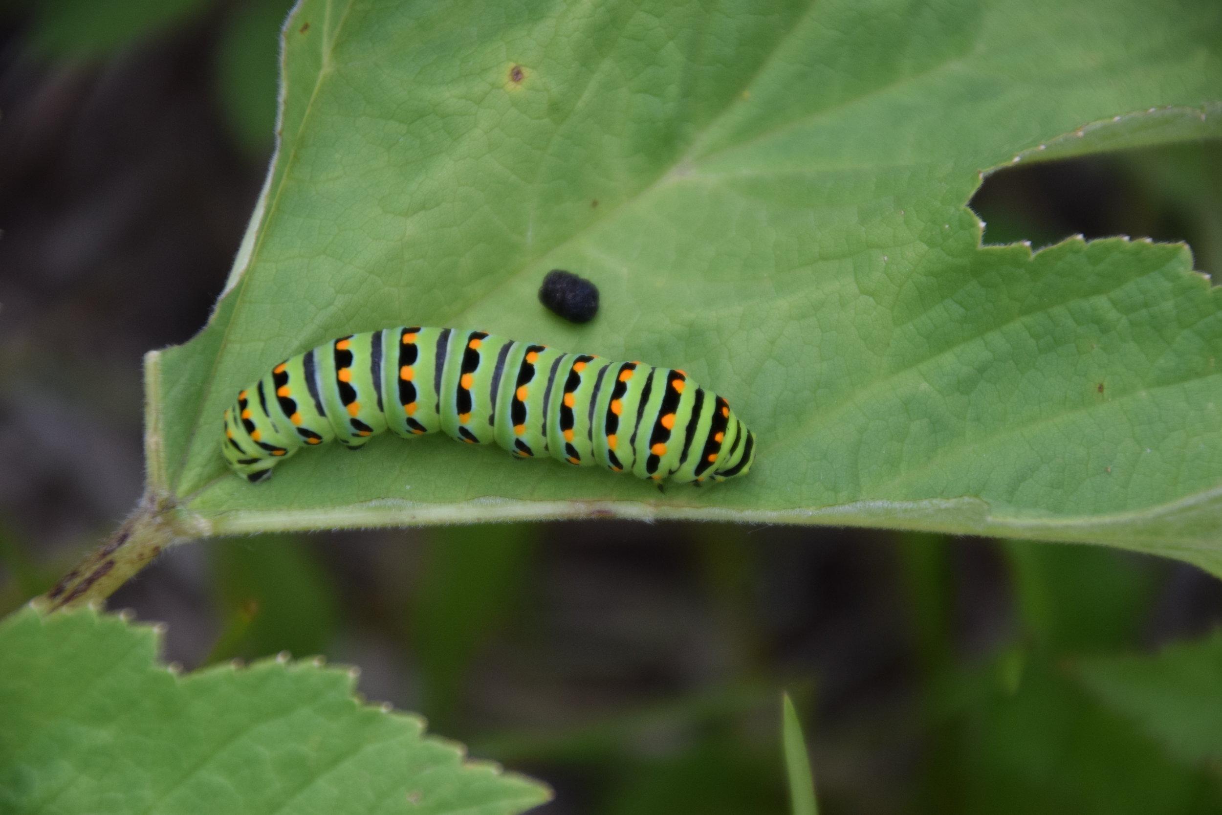 swallowtail caterpillar - LCNS (1).JPG