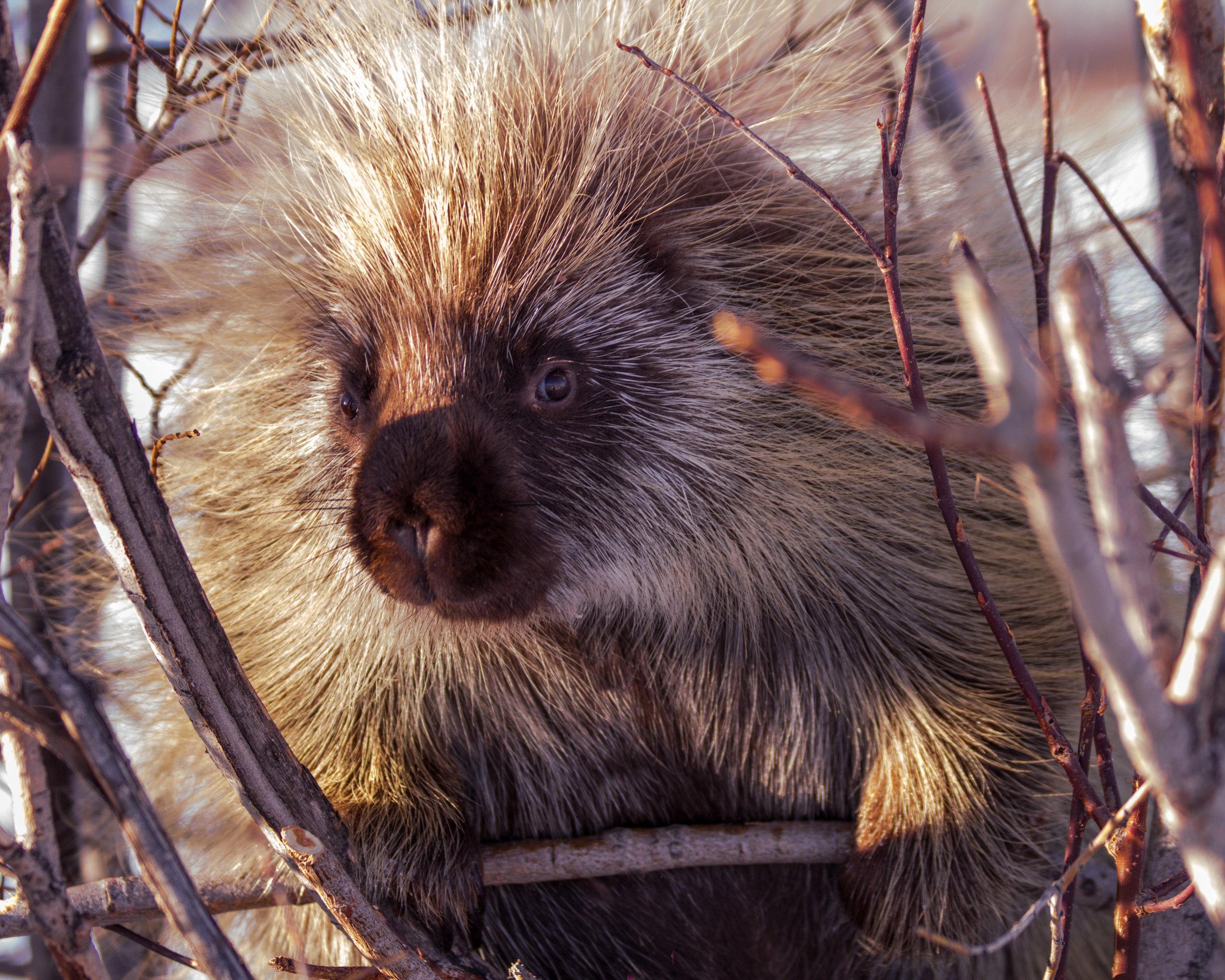 porcupine_Heidi Schuyt.jpg