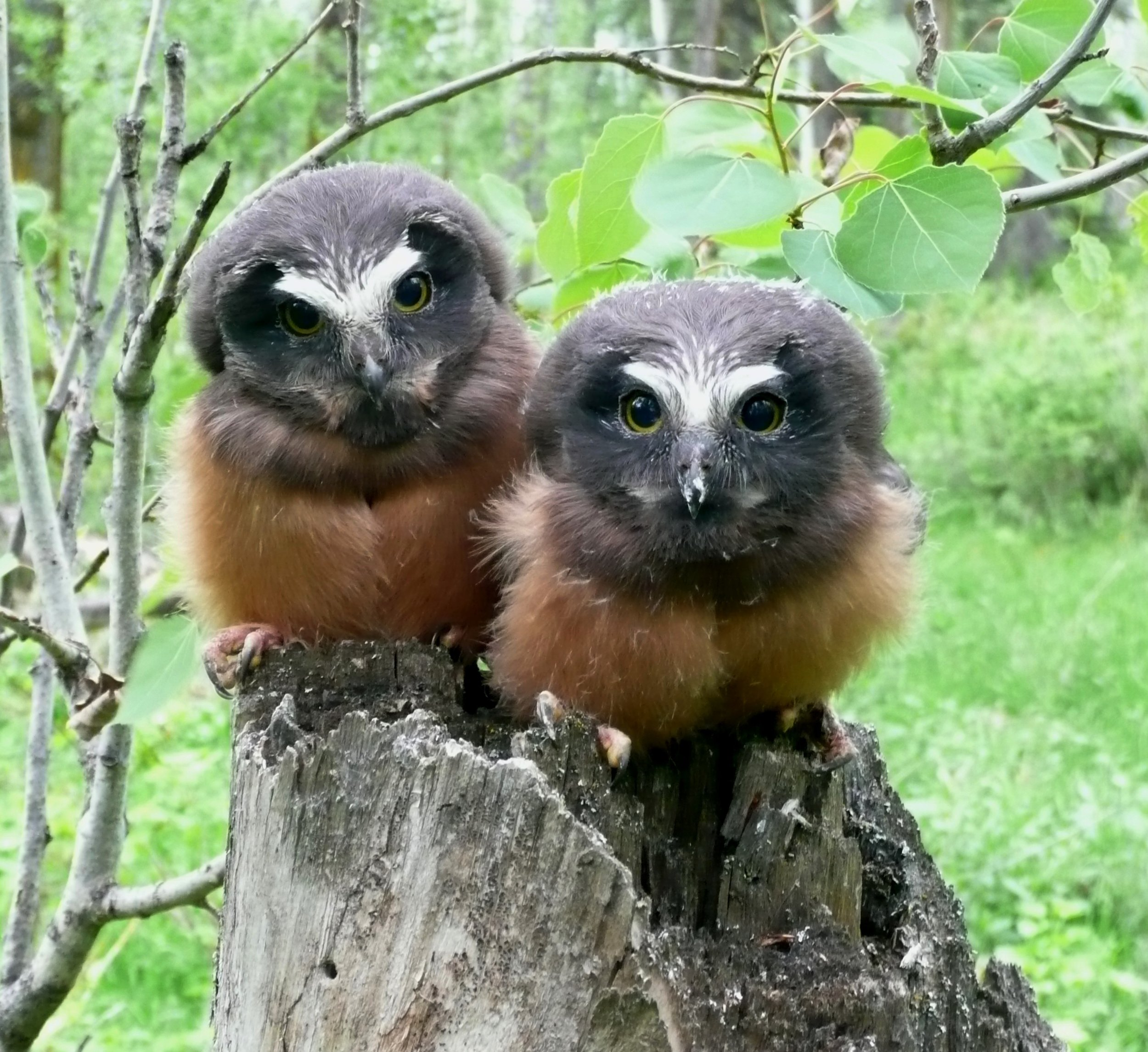 Juvenile Saw-whet Owls Photo by Marg Reine