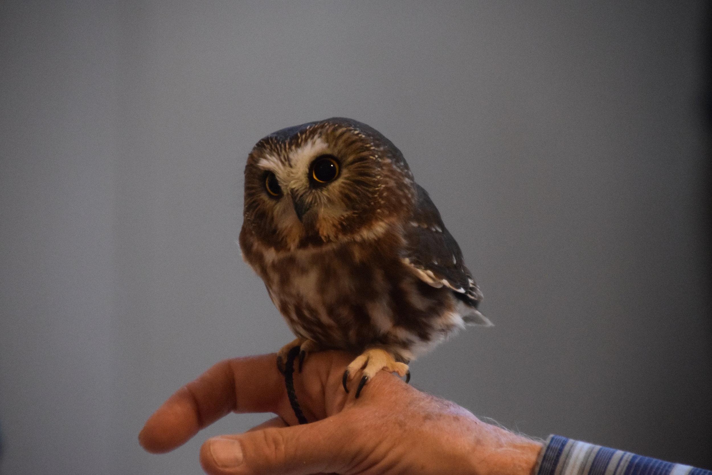 Ricki the Saw-whet Owl at EALT's 10th Anniversary Gala