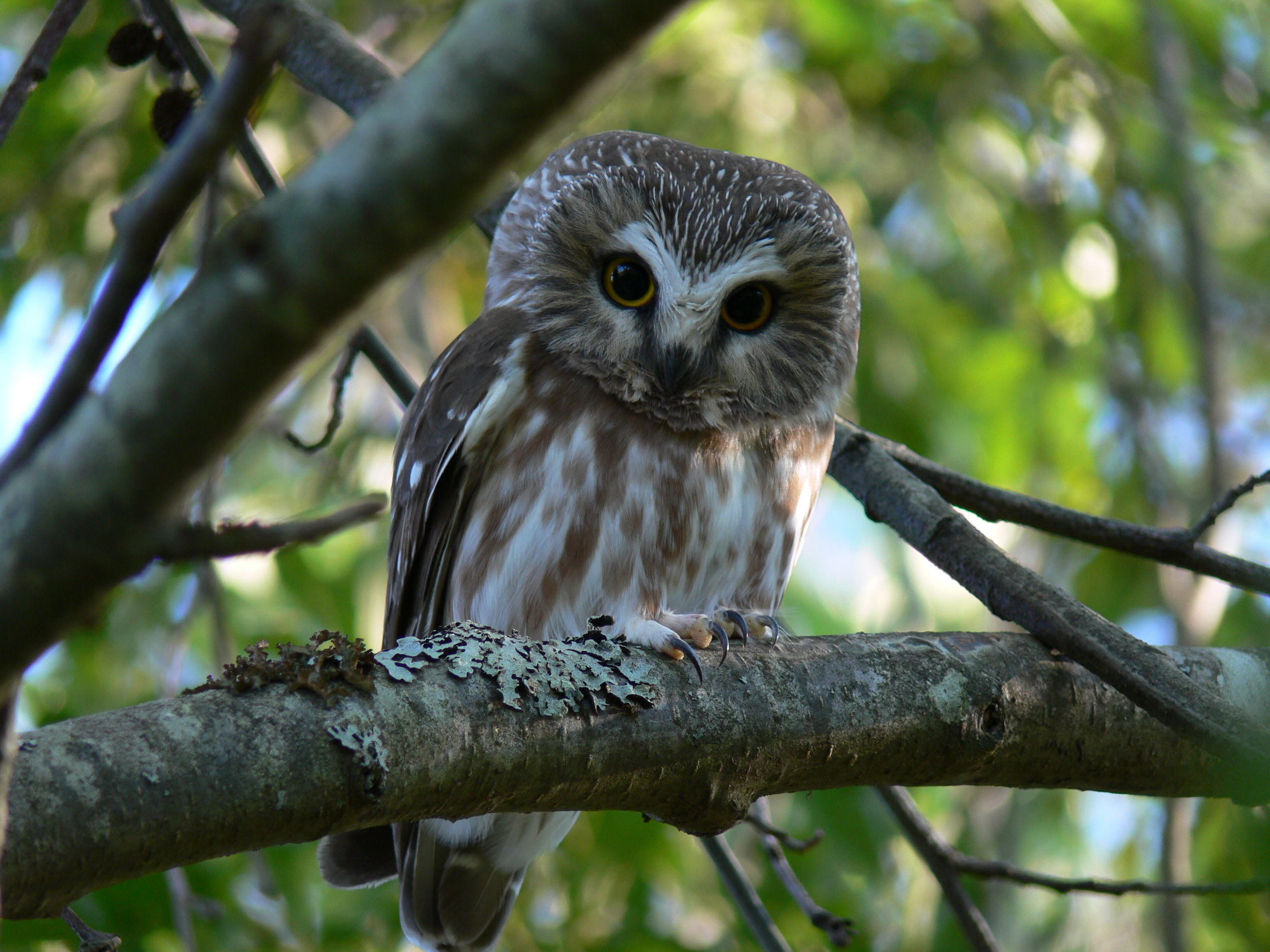 Northern Saw-Whet Owl by Doris May