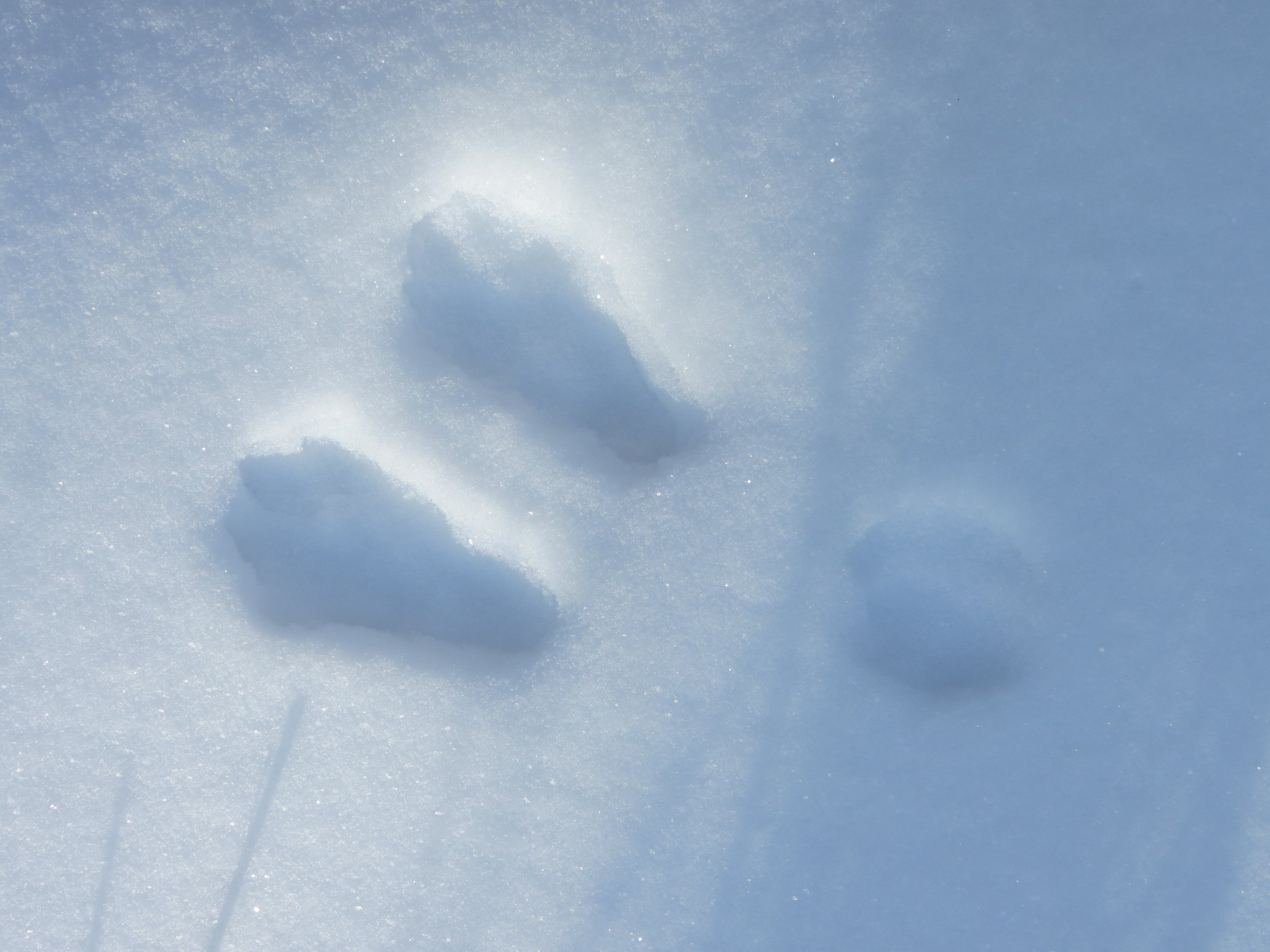 Snowshoe hare tracks feature large back feet and tiny front paws trailing behind as they hop forwards
