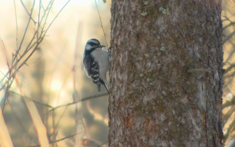 A downy woodpecker searches for something to eat in Larch Sanctuary: Whitemud Nature Reserve. (Rick Bremness/CBC)