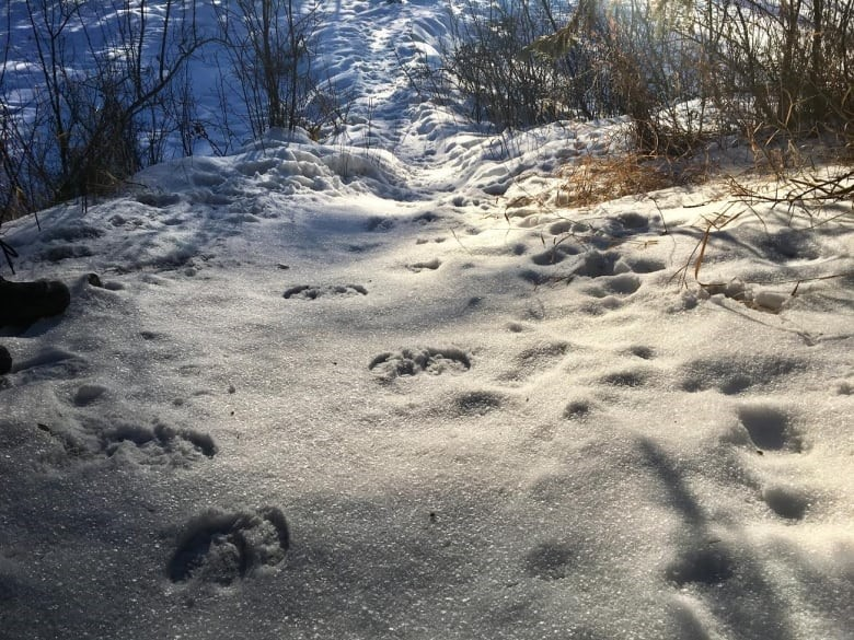 Fresh deer tracks lead from Oxbow Lake in the reserve. (Adrienne Lamb/CBC)