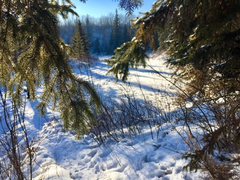 The reserve is a mix of century-old white spruce, deciduous forest and regenerating birch trees. (Adrienne Lamb/CBC)