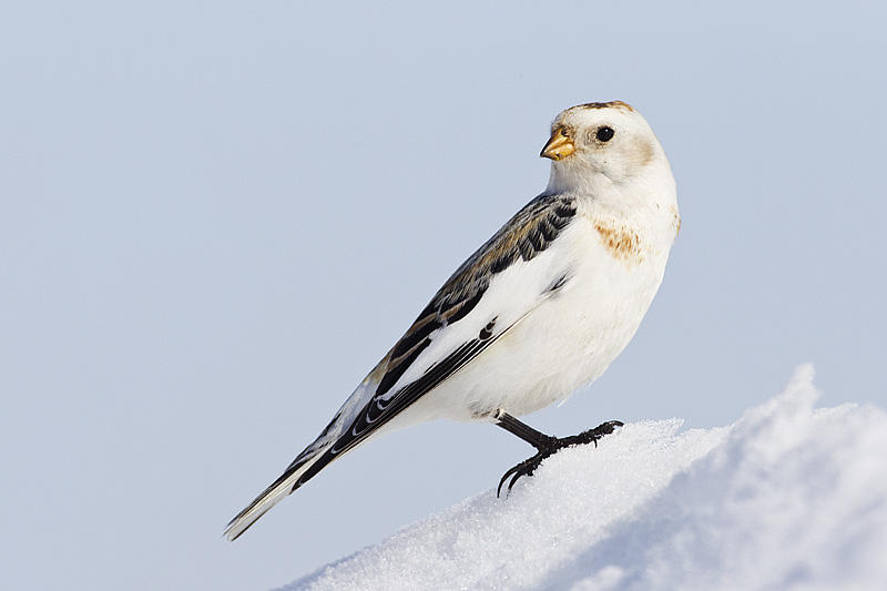 Snow Bunting by Gerald Romanchuk