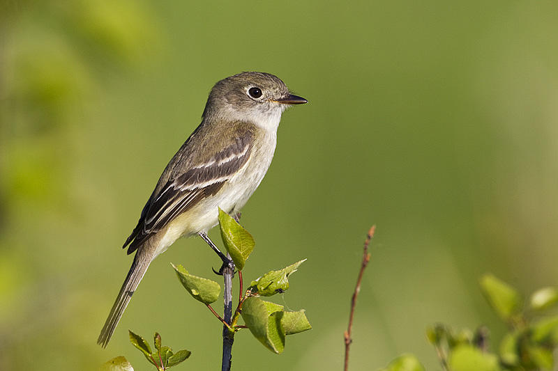 Least Flycatcher by Gerald Romanchuk