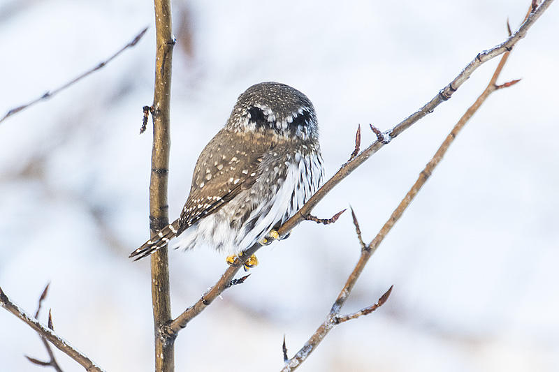 Northern Pygmy Owl from behind, featuring its eye spots. Photo by Gerald Romanchuk.