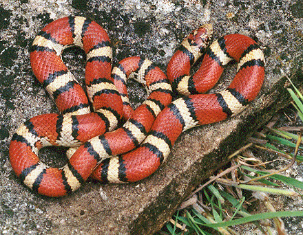 Non venomous milk snake, photo by Mike Pingleton. Photo uploaded to Wikipedia Commons by BillC at English Wikipedia. [CC BY-SA 3.0]
