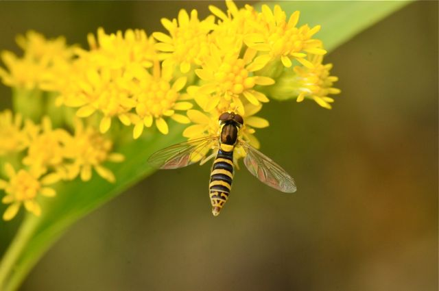 Hoverfly by Betty Fisher.