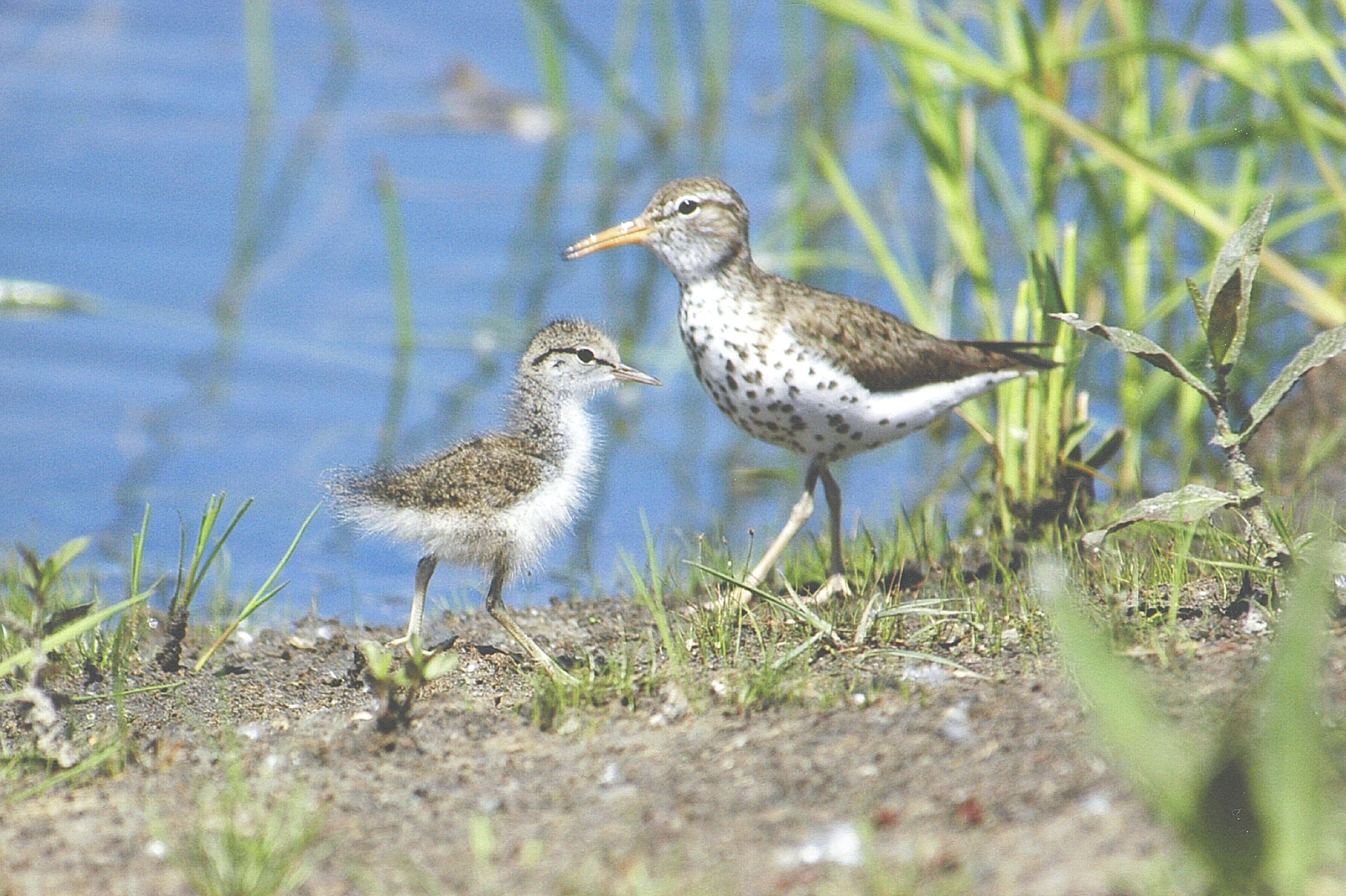 Spotted Sandpiper with young, photo by Betty Fisher.