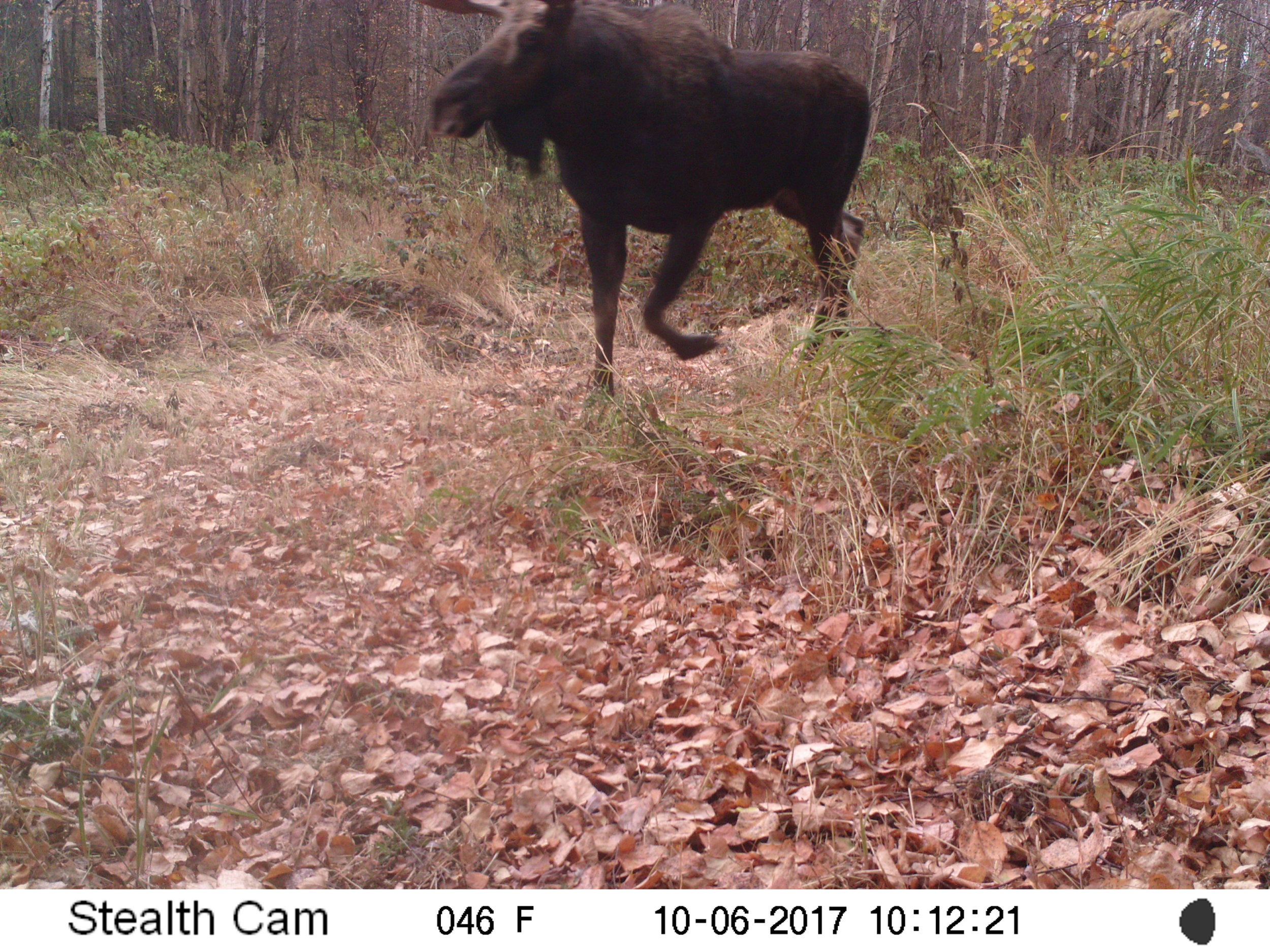 Moose at Glory Hills