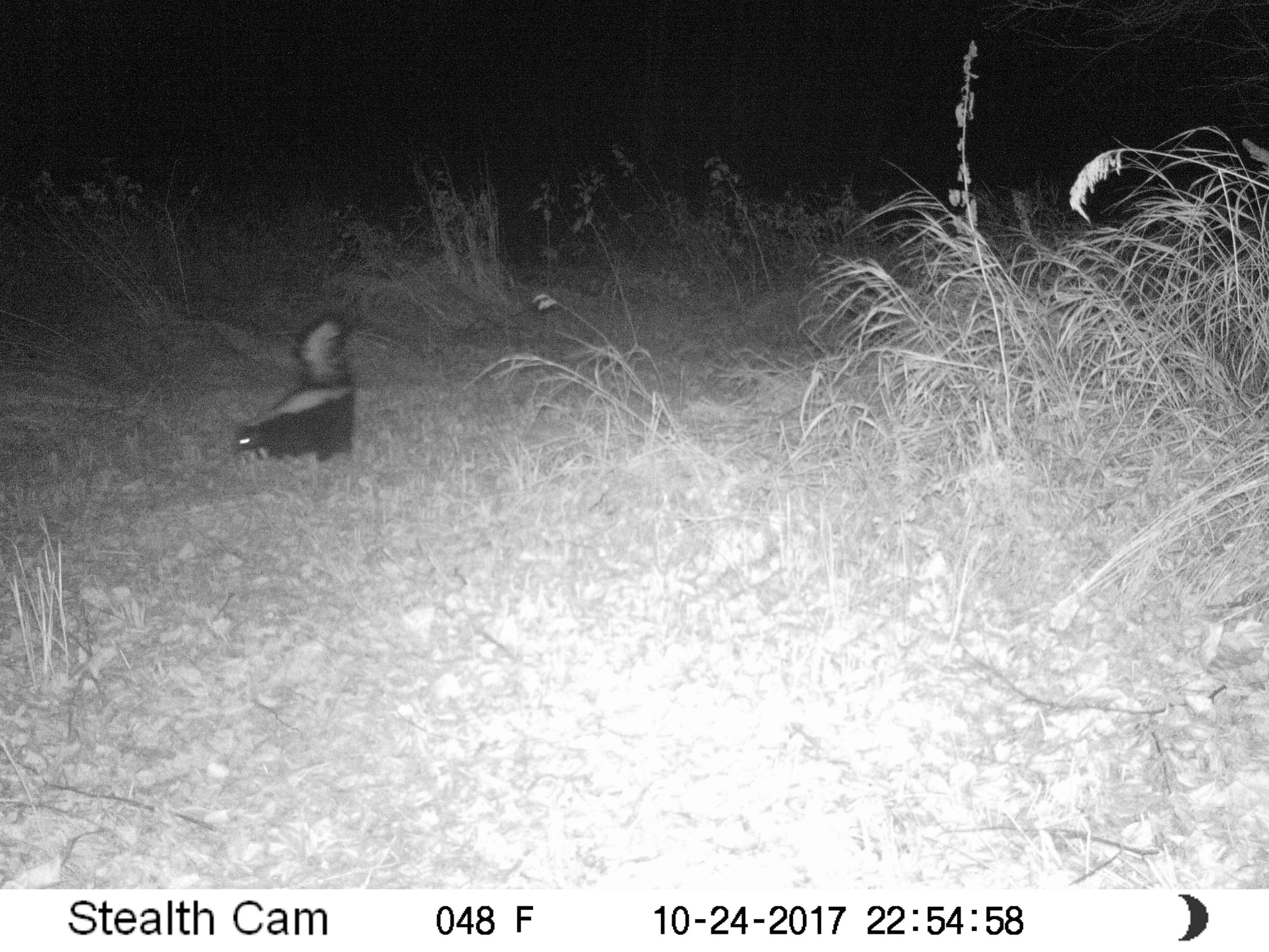 Skunk at Glory Hills