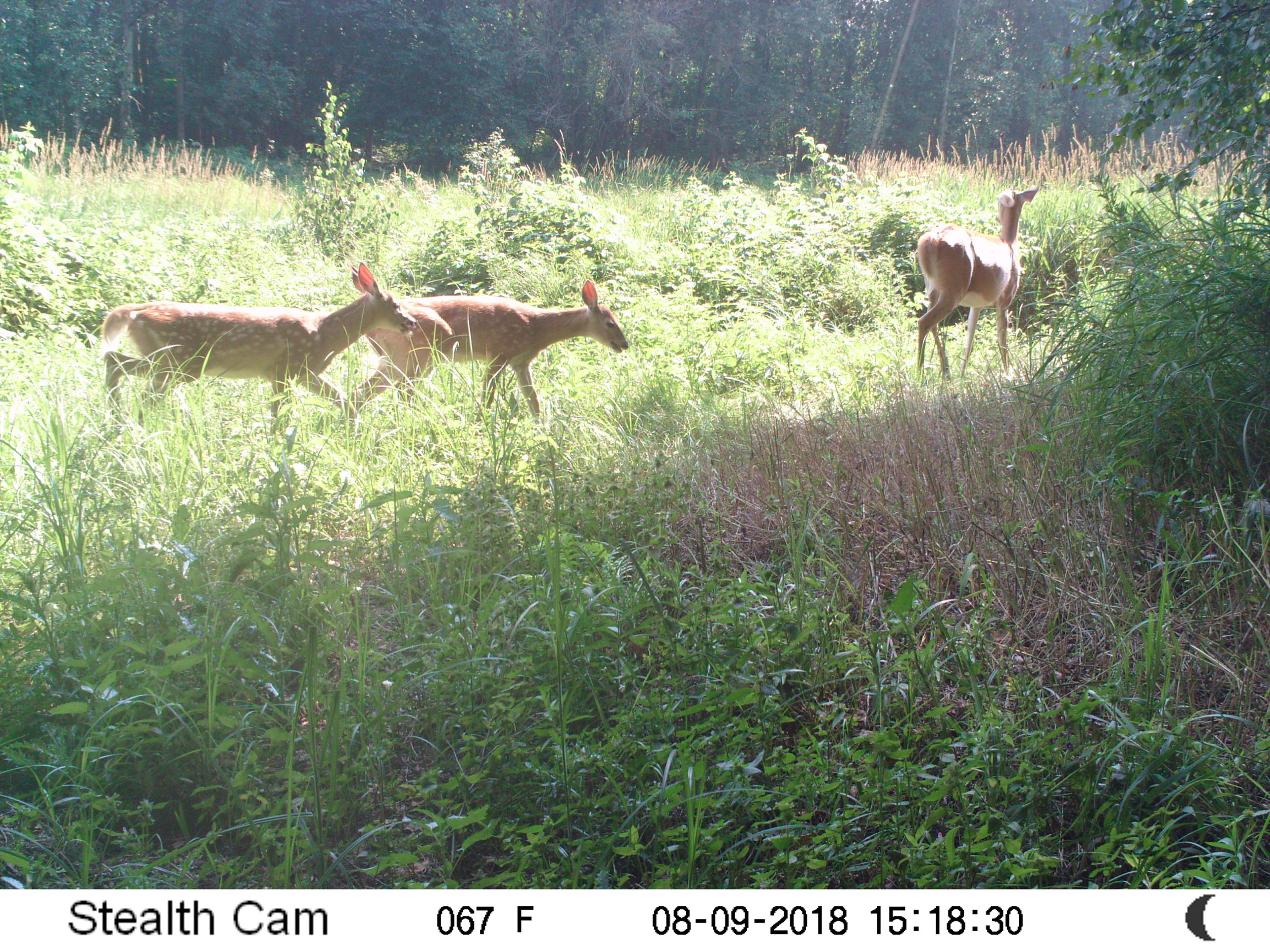 Deer with fawns at Glory Hills