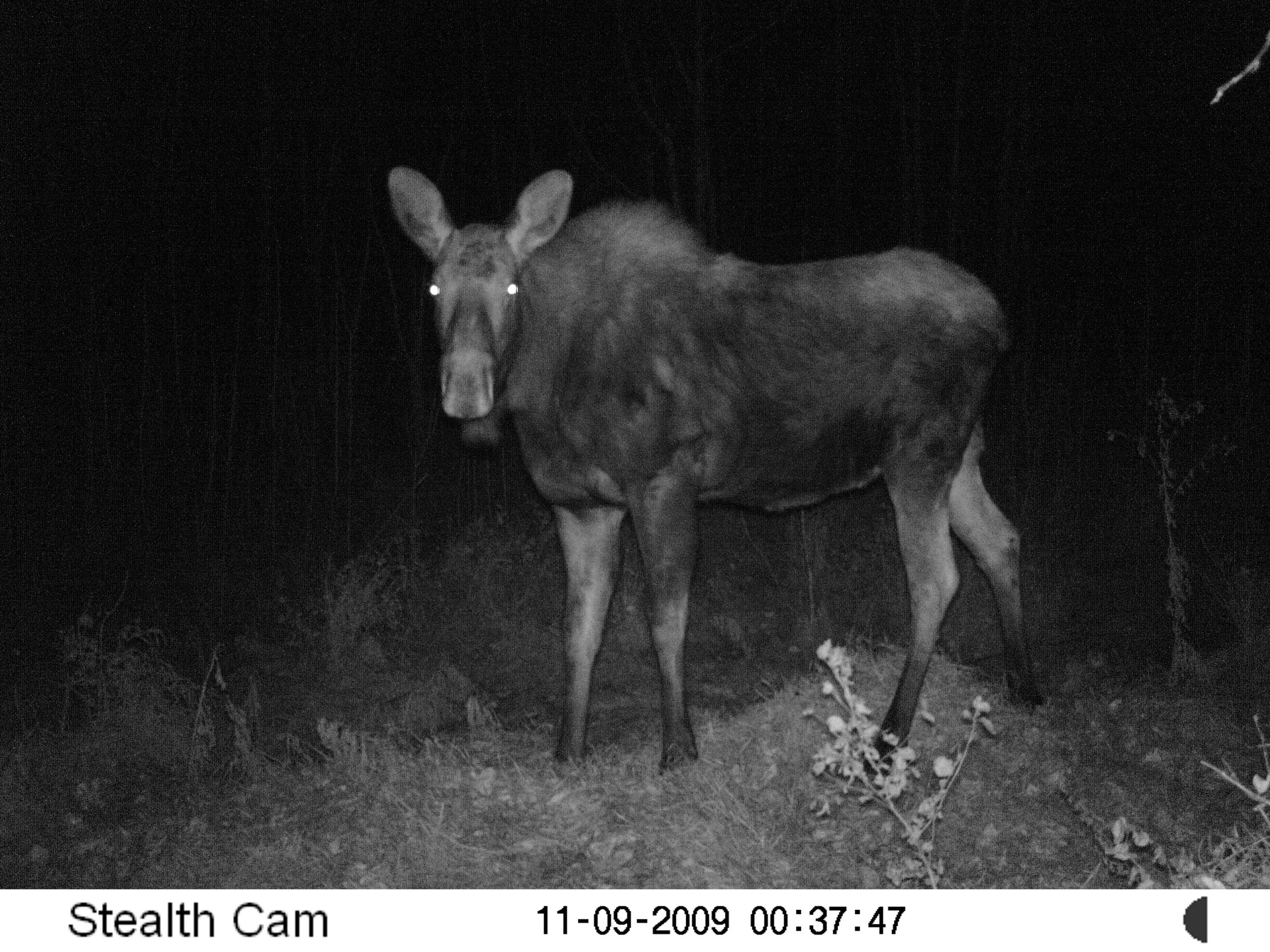 Moose on EALT wildlife camera.