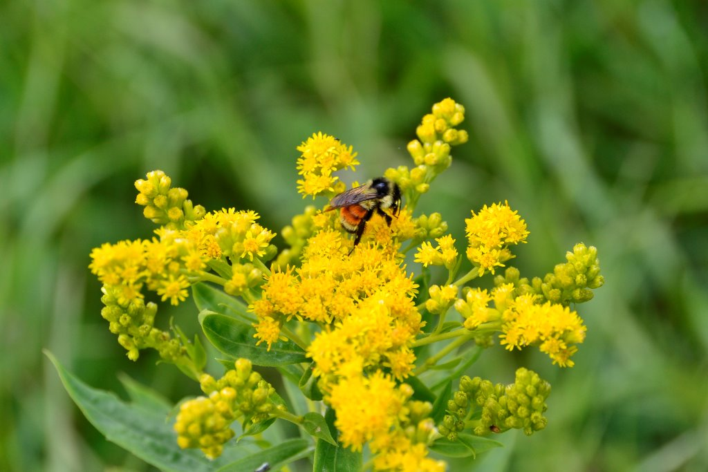 bee and goldenrod - Marg Reine.jpg