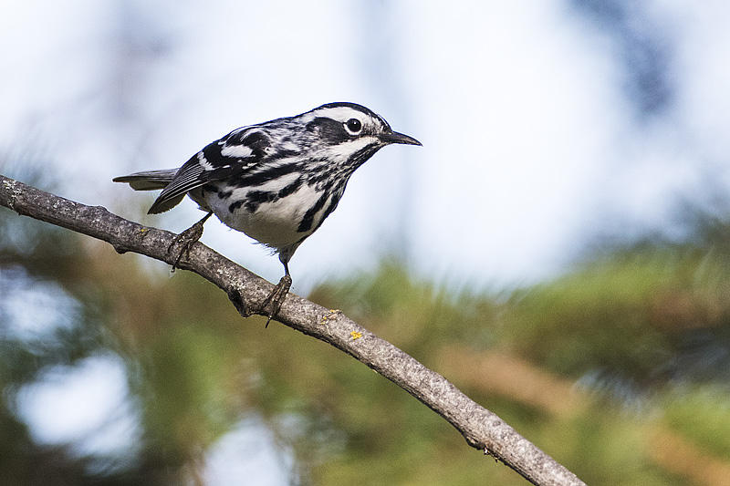 A diverse array of plants and wildlife help keep us fed, healthy, and inspired. Photo of a Black-and-white Warbler by Gerald Romanchuk.