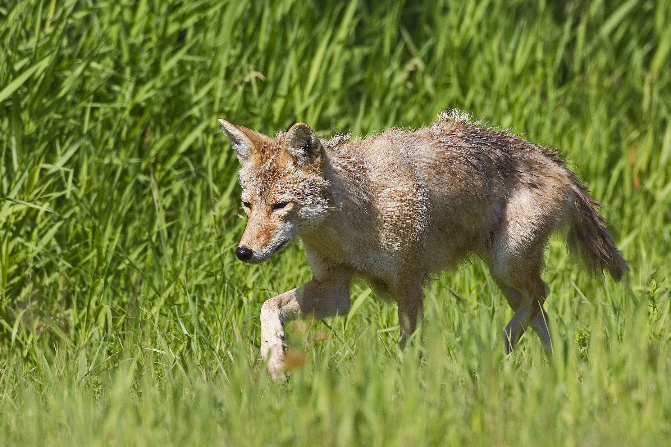 You can identify a coyote by their narrow pointed face, bushy tail, large ears compared to body size, and relatively smaller than a wolf.