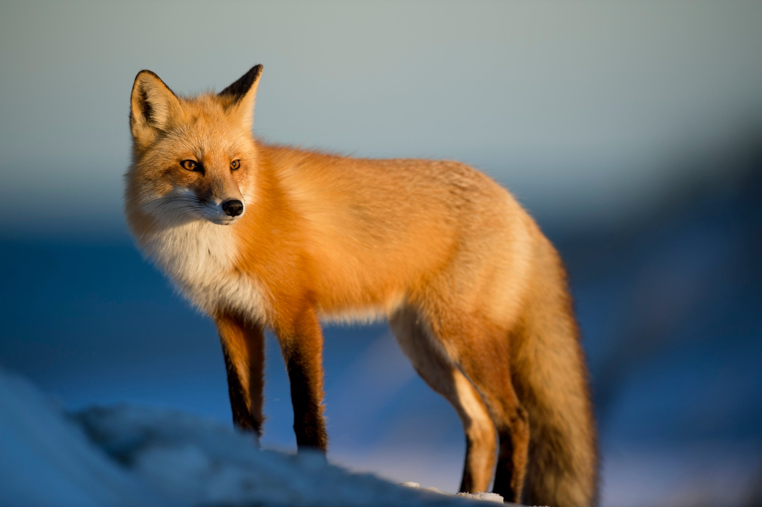 Photo of a Red Fox by Ray Hennessy