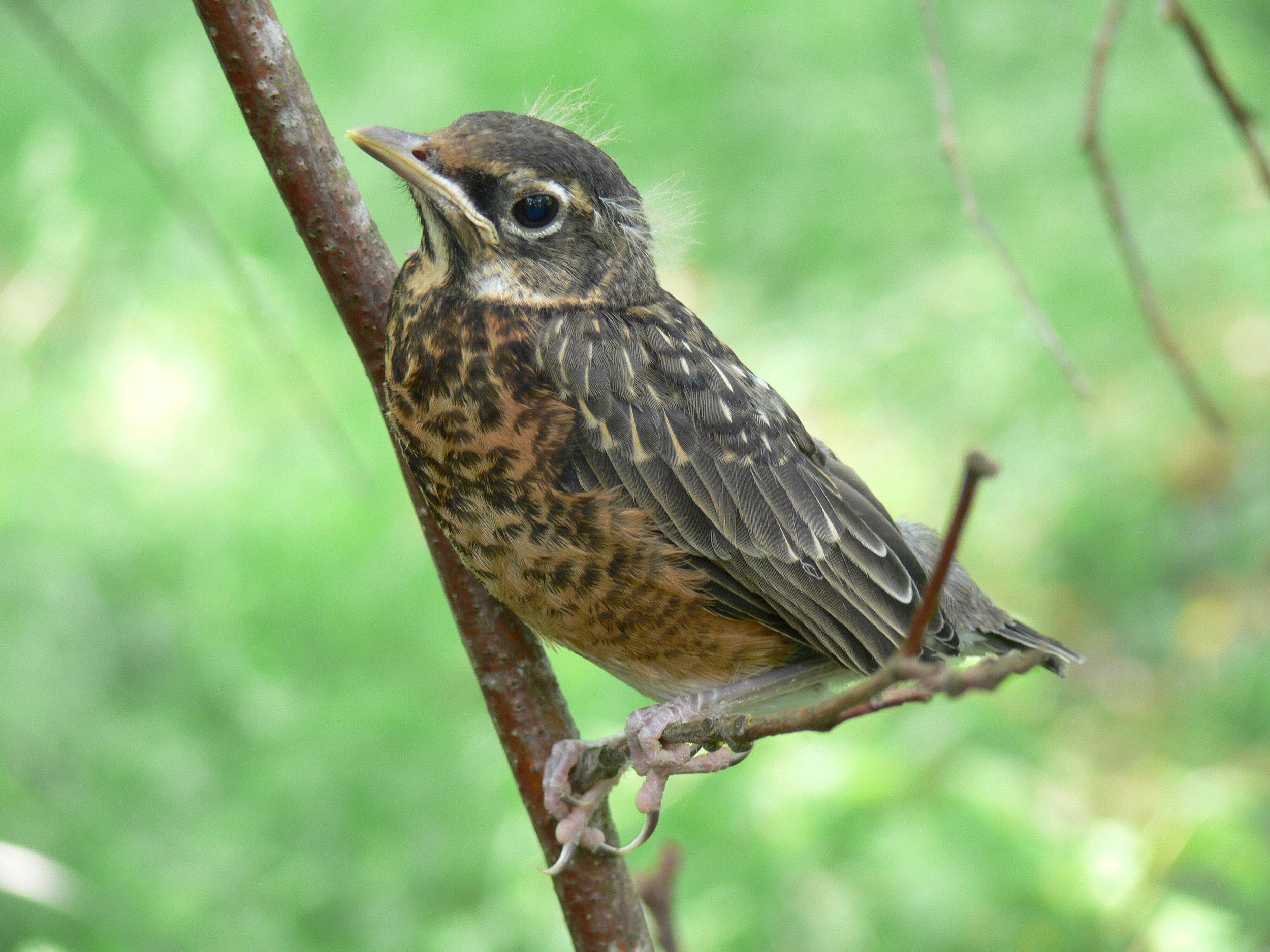 Photo of a baby Robin by Doris May