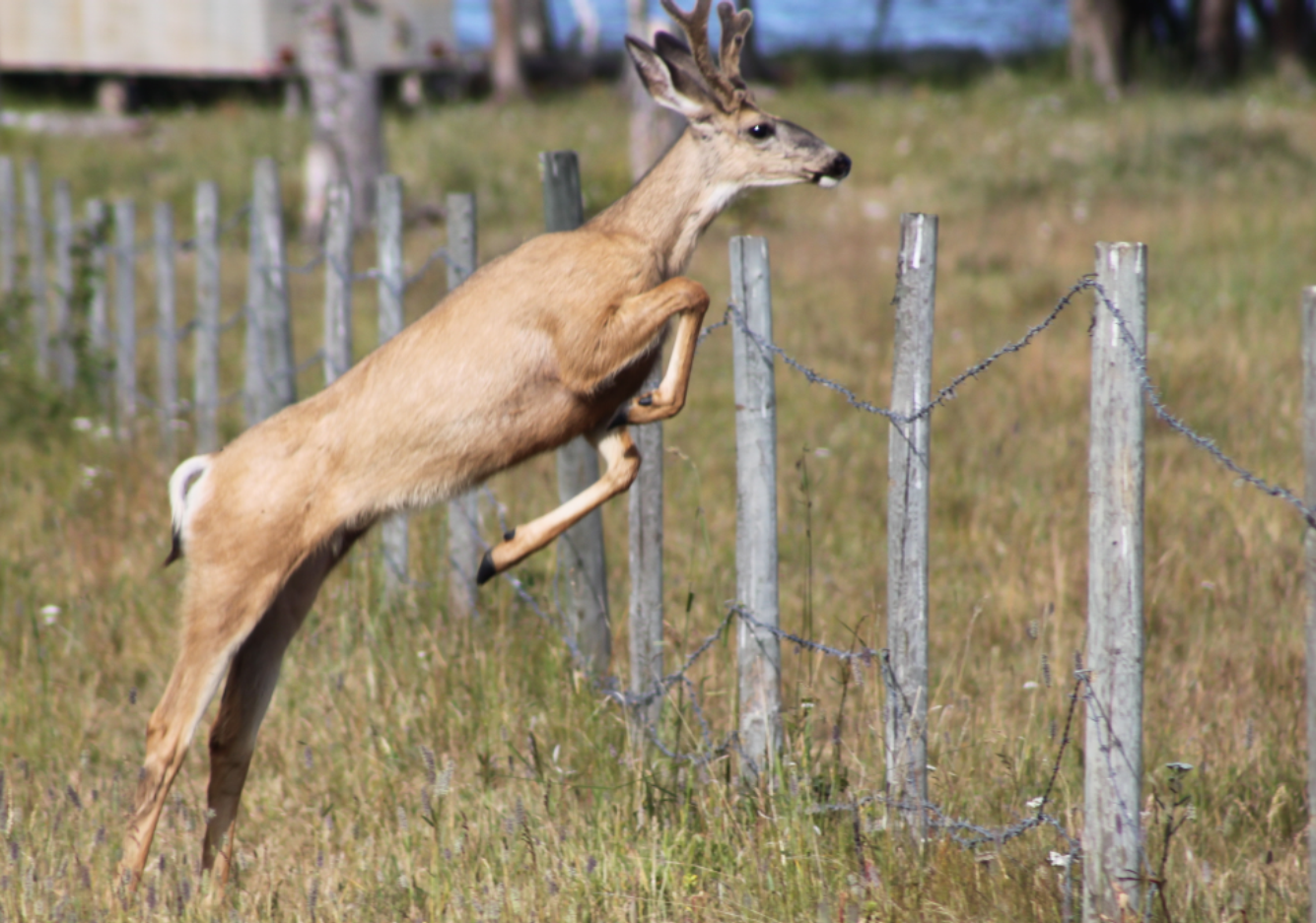 Deer jumping over fence by Greg Johnson.