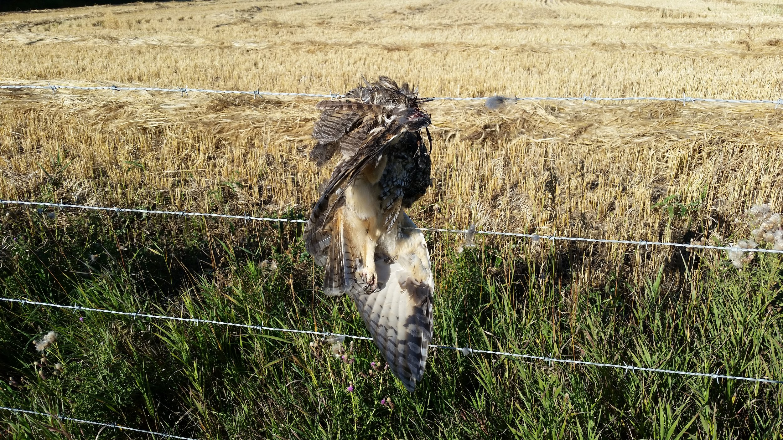 Low flying birds like raptors, waterfowl, and grouse are vulnerable as well.