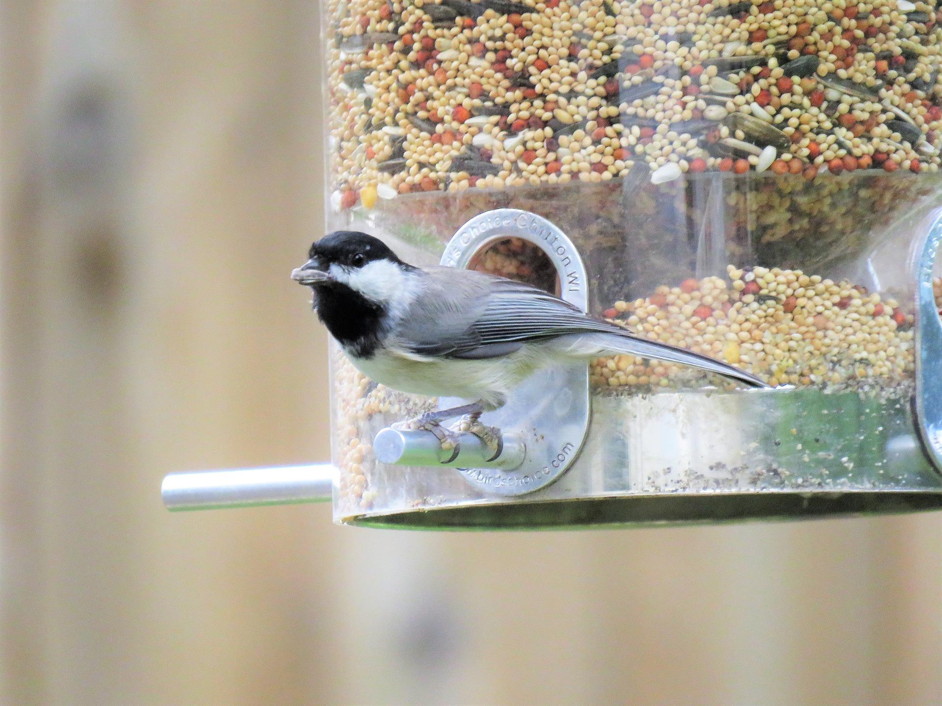 Bird feeder placement can influence safety of backyard birds.