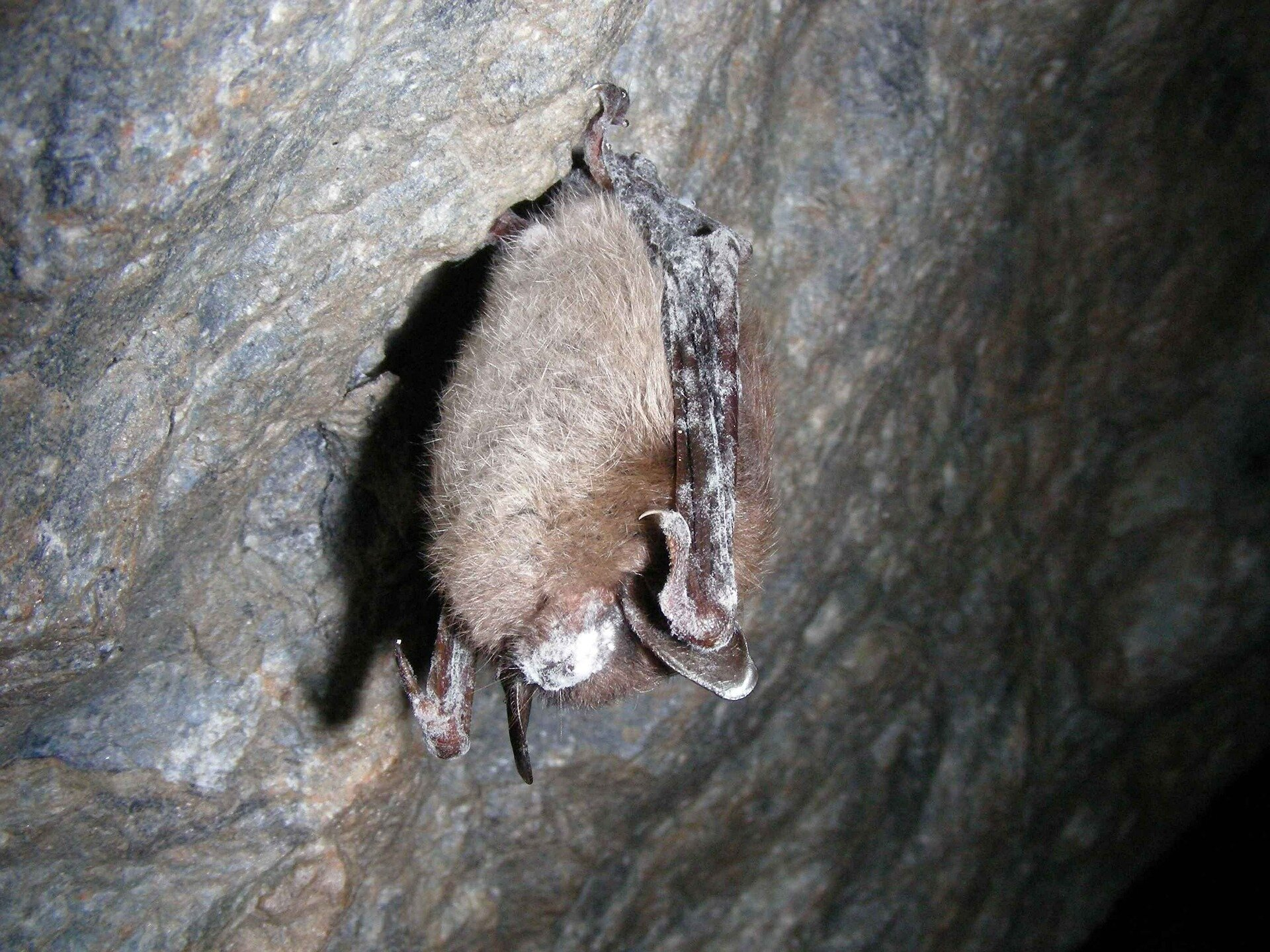 White Nose Syndrome. Displays itself as a white fuzz around the nose and mouth of bats.