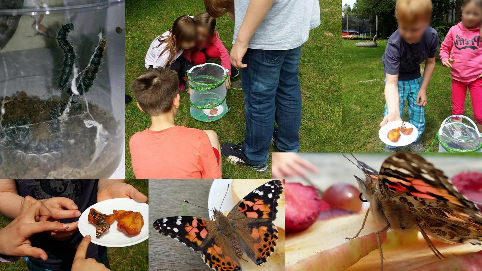 Im Mai hatten wir uns Raupen besorgt. Es war toll zu sehen wie sie gewachsen sind, sie sich dann verpuppt haben, und nach 3 Wochen wunderschöne Monarch Schmetterlinge ausgeschlüpft sind. Dann haben wir sie frei gelassen, mit Obst gefüttert, was sie besonders gern mögen, und sie sind noch eine ganze Weile im Garten um uns herum geschwirrt, auf unseren Händen und Schultern gesessen, und dann weiter geflattert. :)